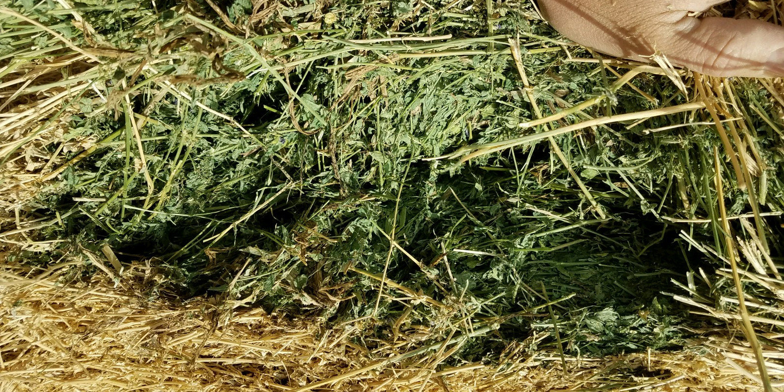 Nevada-grown Alfalfa For Sale and Delivery