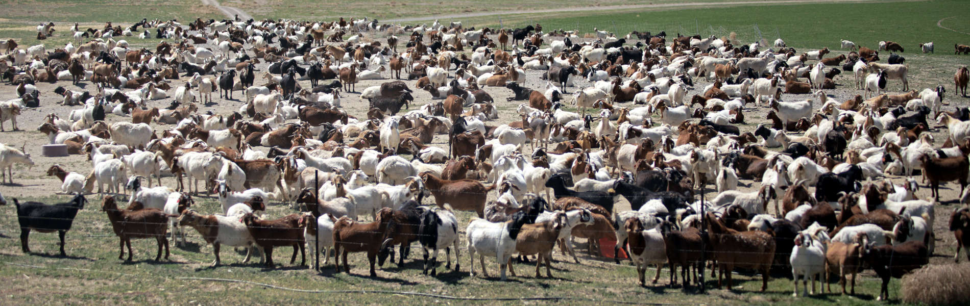 Boer Goats for Meat, Breeding, and Noxious Weed Control
